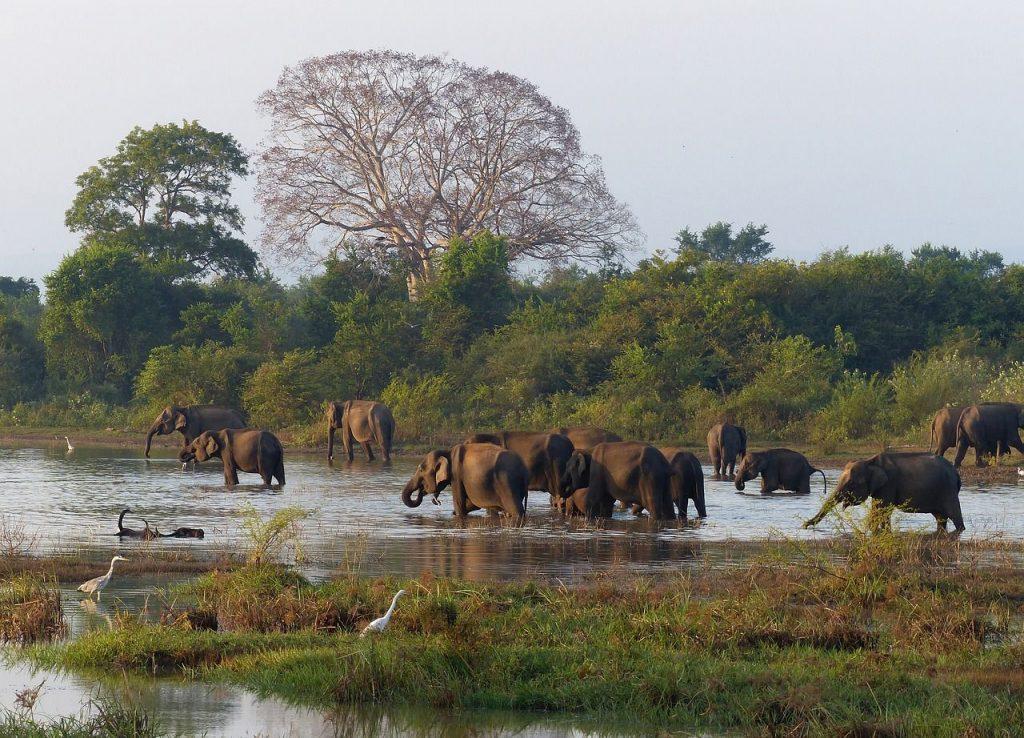 Les éléphants du Sri Lanka