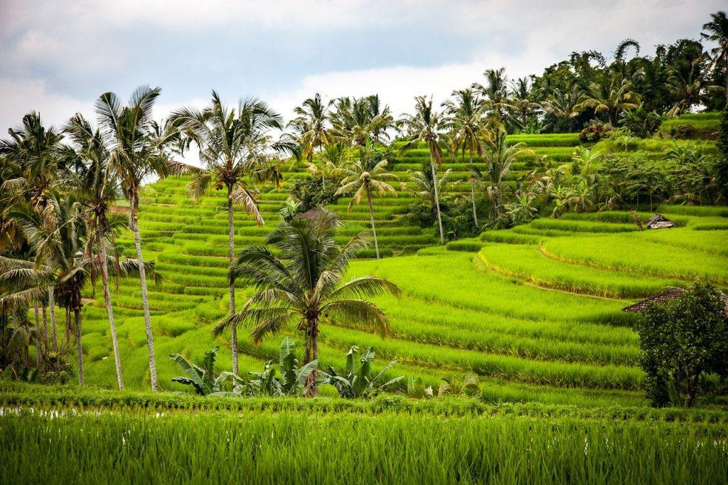 Rizière  - Voyage en Indonésie avec les enfants